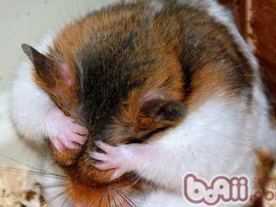 仓鼠吃完东西伸展身体 读懂仓鼠的肢体表情的含义图片