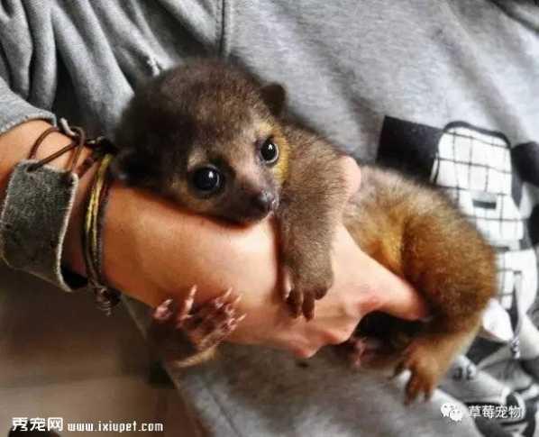 蜜熊是一种小型哺乳动物,生活在中美洲和南美洲的热带雨林,它们大
