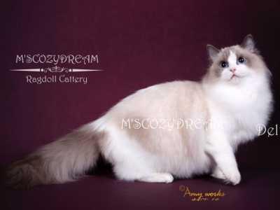 什么是布偶猫的血线 女王CFA GC超级大冠军Delta