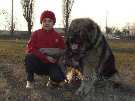 高加索犬和小孩 高加索犬与小孩好相处吗 - 唯美女性网