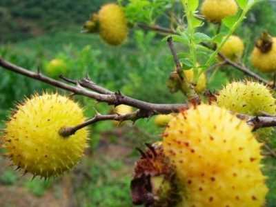 刺梨的功效与作用 野刺梨泡水喝的功效