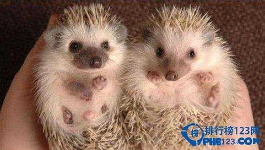 地球十大最可爱动物top5:非洲小刺猬(africanpygmyhedgehog)