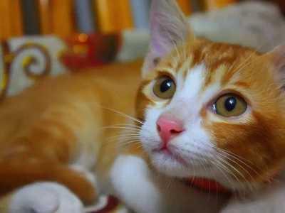 中国狸花猫在美国售价 中国土猫在国外卖到上万