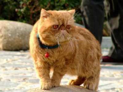 英短蓝猫母猫发腮吗 如何让猫咪发腮成大脸喵
