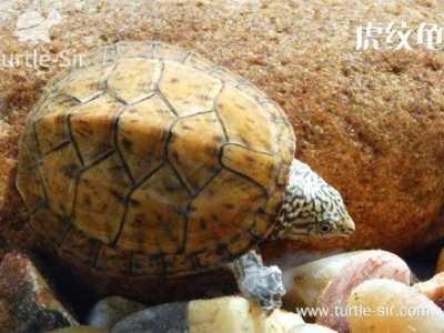 虎纹龟好养吗 虎纹龟入手需要的注意事项