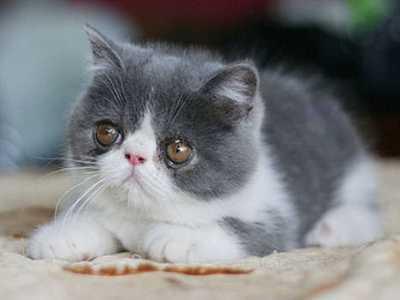 大型短毛猫 新手最适合养的十种猫咪