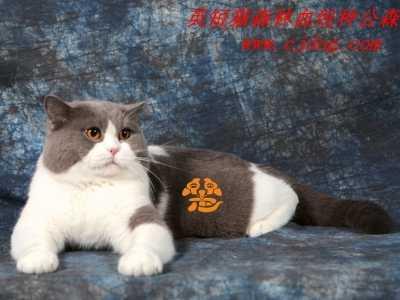 英国短毛猫性格特征 英短猫性格生活习性介绍