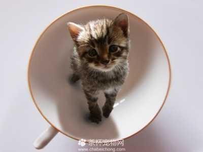 茶杯猫能活多长时间 茶杯猫可以活多久