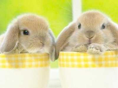 垂耳兔要人抱吗 怎样培养垂耳兔喜欢被抱