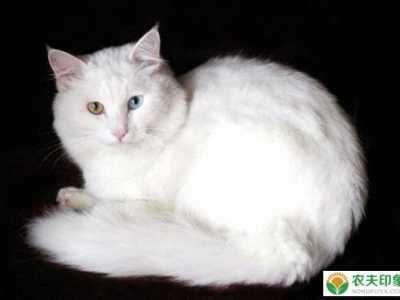波斯猫有灰色的么? 波斯猫怎么挑