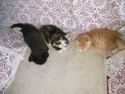 美短和波斯猫能交配吗 加菲猫欺负了美短猫生下三只小奶猫