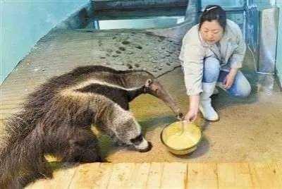 能养食蚁兽吗 天津动物园迎来两只大食蚁兽