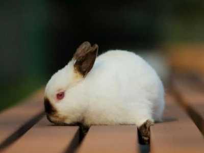 侏儒兔认主人吗 最乖巧的侏儒兔