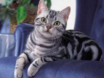 美国短毛猫耳朵 美短和英短到底养哪个比较好