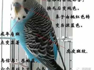 虎皮鹦鹉亮体和亮翅 虎皮鹦鹉的10大品种
