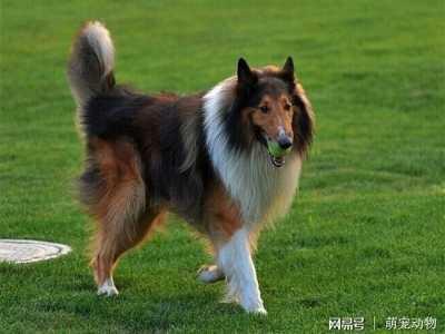 拉布拉多军犬 世界十大最忠诚狗狗排名