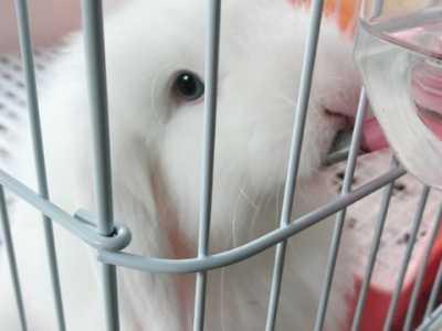 垂耳兔吃东西抖动 胆小怕惊的垂耳兔怎么养