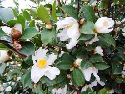 油茶树种植 如何种好油茶树