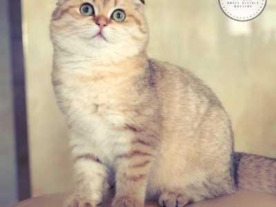 三色折耳猫 有遗传病的折耳猫能活多久