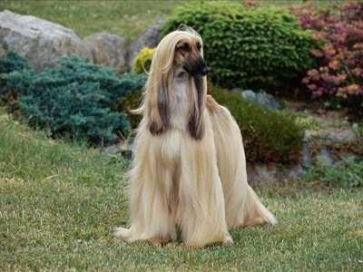 阿富汗犬图片 为什么国内禁止销售和饲养阿富汗犬