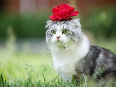 折耳猫遗传病能活多久 因为折耳猫的遗传病无法治愈