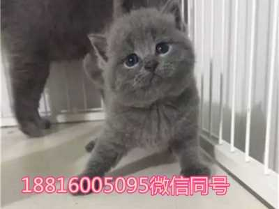 眼睛大的猫品种英国短毛 蓝猫小猫包子脸铜色眼睛英国短毛蓝猫