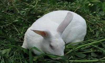 哪种兔子最好养 四川适合养殖哪种兔子