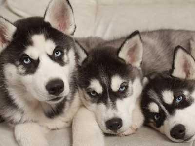"""泰迪犬好还是萨摩耶好 会让人感到""""危险""""的四种狗"""