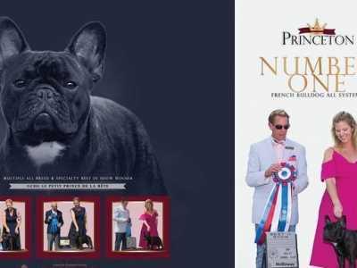 法国斗牛犬有哪些血统 美国AKC犬业协会法国斗牛犬历年排行一(2001-2017年)