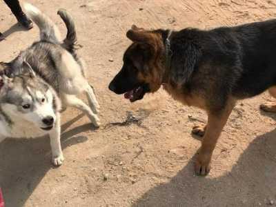 德国牧羊犬和哈士奇 二哈使出下三滥的手段获胜