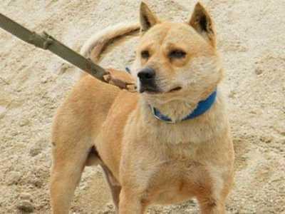 细狗取什么名字好叫 此犬是我国本土优秀猎犬