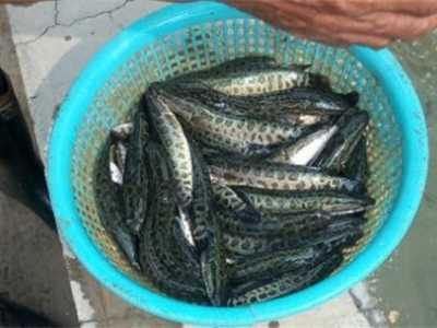 黑鱼是发物吗 为什么说黑鱼是世界上最脏的鱼