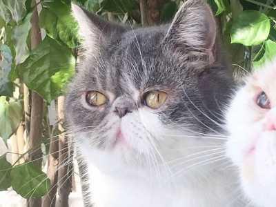 波斯猫流鼻涕怎么办 加菲猫老是流鼻涕打喷嚏怎么办