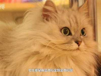 波斯猫金吉拉的区别 金吉拉猫是什么