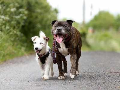 哪些犬适合做导盲犬 小狗当导盲犬守护失明老狗