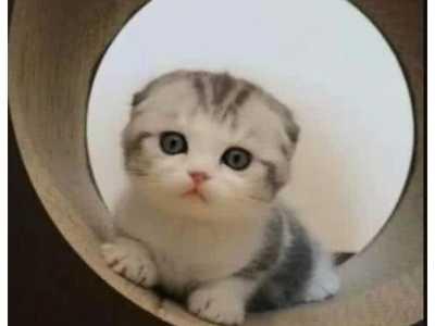 母折耳猫能繁育吗 给父母送了一只折耳猫