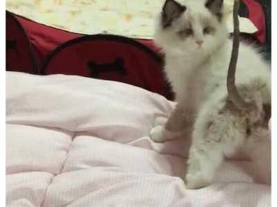 猫尾巴很短身上毛很长 被主人剃去周围的毛