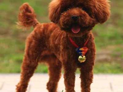 不掉毛的小型犬 5种最适合饲养的小型犬