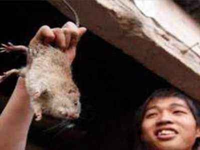 老鼠肉 看完解开多年疑惑