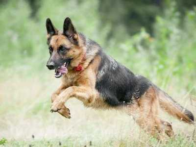 高加索犬看家厉害吗 最适合看家护院的4种狗狗