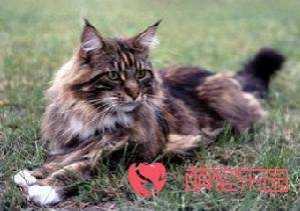 纯种波斯猫玳瑁色 玳瑁色一白色波斯猫的特性