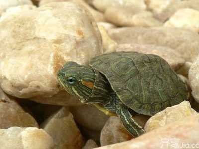 巴西龟多大算成年 巴西龟能长多大