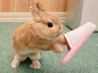兔子拉不成型的便便 侏儒兔大便不成形是咋回事