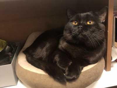 英国短毛猫全黑 是不是黑色的英短很少见啊