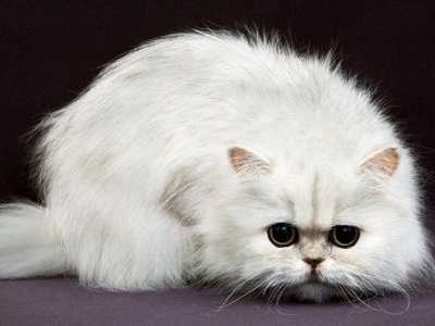小波斯猫吃什么 波斯猫吃什么猫粮去泪痕