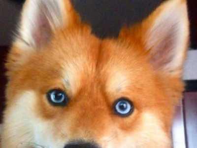 杂交狐狸狗图片 一只长得像狐狸的杂交犬
