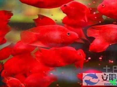 红鹦鹉鱼繁殖 鹦鹉鱼养殖方法及医治方法
