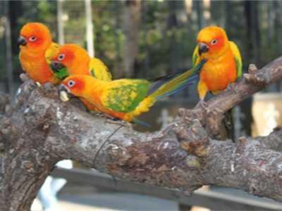 红牡丹鹦鹉怎样繁殖 牡丹鹦鹉怎么繁殖