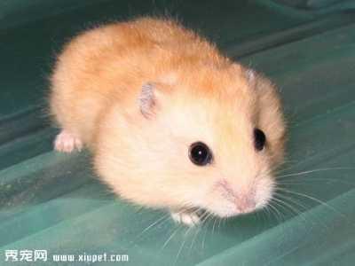 仓鼠上火食物 人工饲养的布丁仓鼠寿命有多长