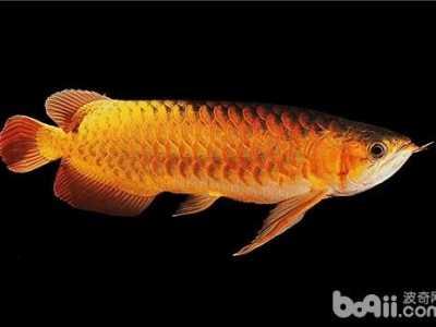 银龙鱼鳞片疾病图解 龙鱼眼珠混浊的原因及治疗